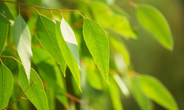 Eucalyptus: Breng wat vakantie in je eigen tuin