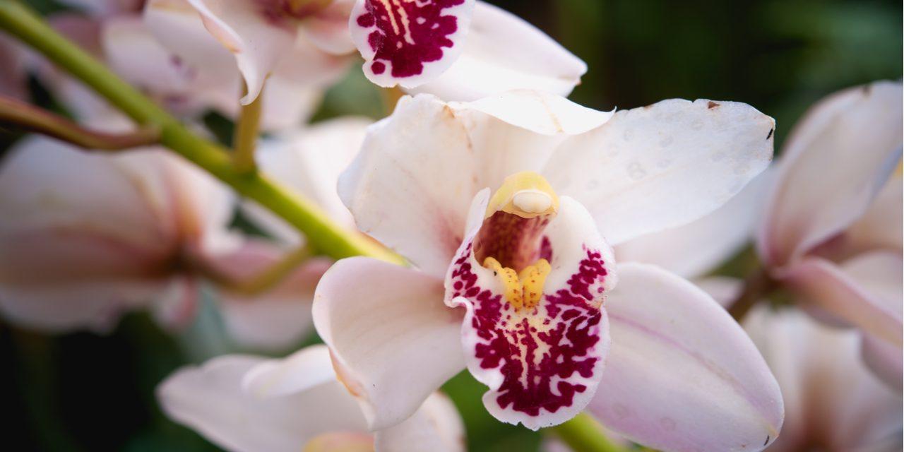 Hoe orchideeën goed verzorgen?