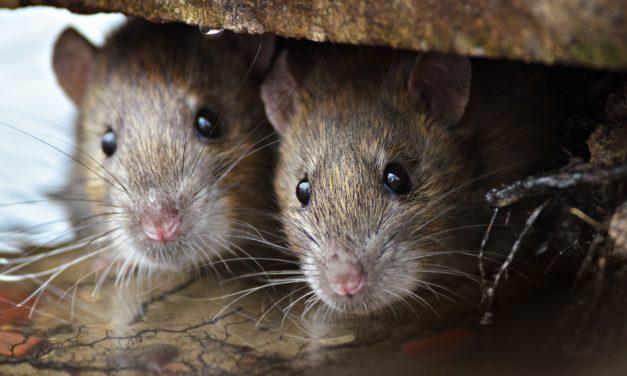 Wat kan je doen tegen ratten of muizen in je omgeving?