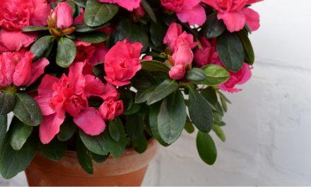 Waarom mag je azalea's niet met leidingwater begieten?