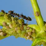 Hoe kan je bladluizen en mieren milieuvriendelijk bestrijden?