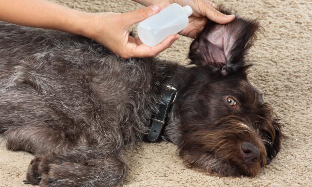 Hoe kan je voorkomen dat je hond doof wordt?